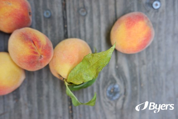 Byers Peach Harvest
